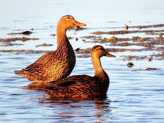 American Black Ducks