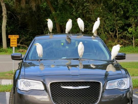 Cattle Egret Driving School