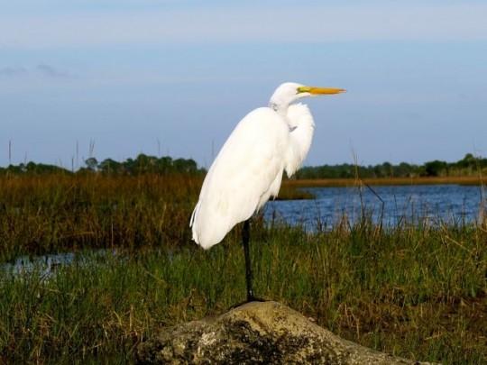 An Elegant Great Egret