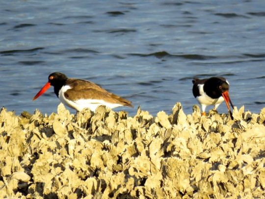Oystercatchers Opening Oysters