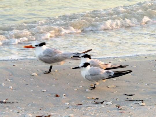 Royal Tern And Sandwich Terns