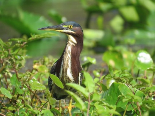 Green Heron Watching Us