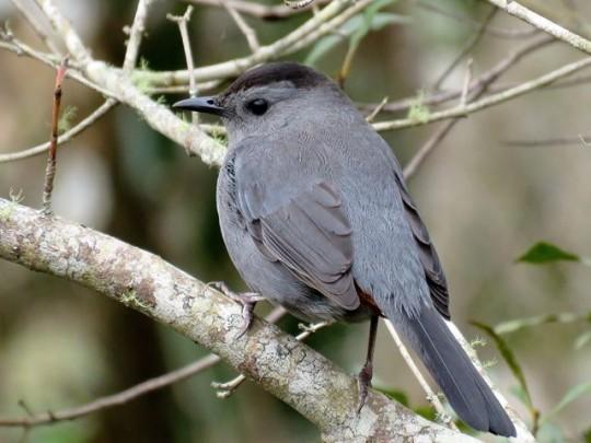 The Elusive Gray Catbird