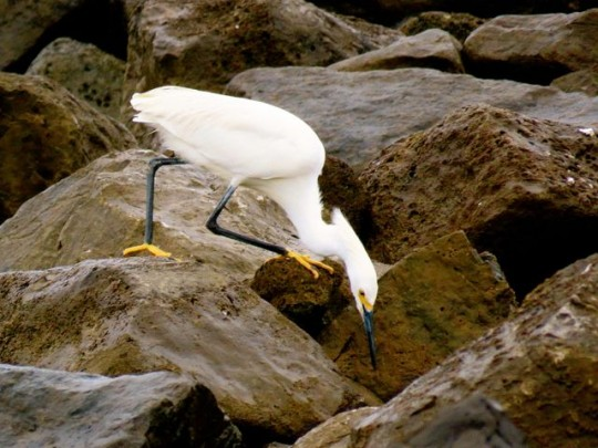 Snowy Egret On The Jetty
