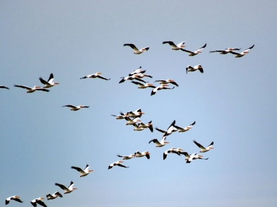 Flocks Of White Pelicans