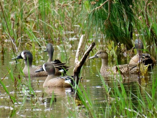 Blue-Winged Teal On The Pond