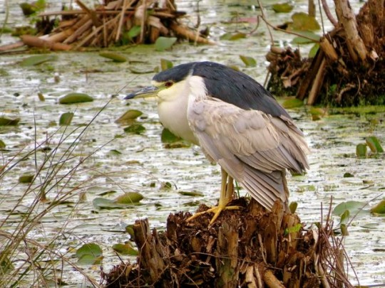 Black-Crowned Night Heron In The Marsh