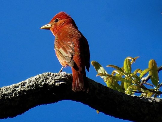 Summer Tanager First-Year Male