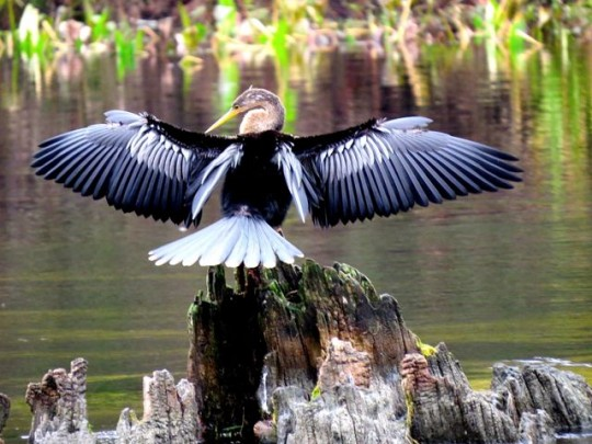 Anhinga On The Wakulla