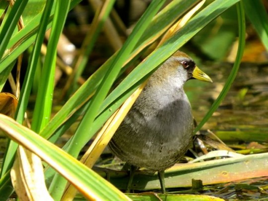 A Secretive Sora In The Reeds