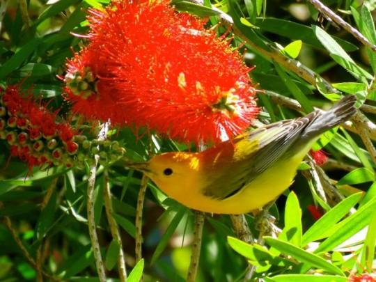 Prothonotary Warbler In Bottlebrush