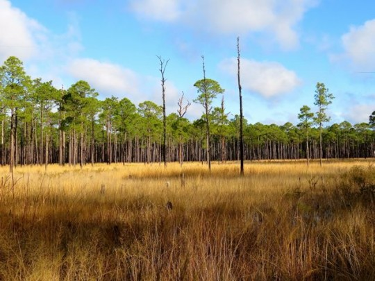 A Long Leaf Pine Flatwoods