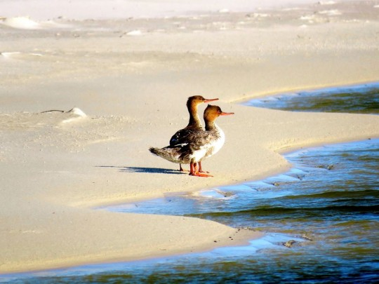 Red-Breasted Mergansers On The Beach