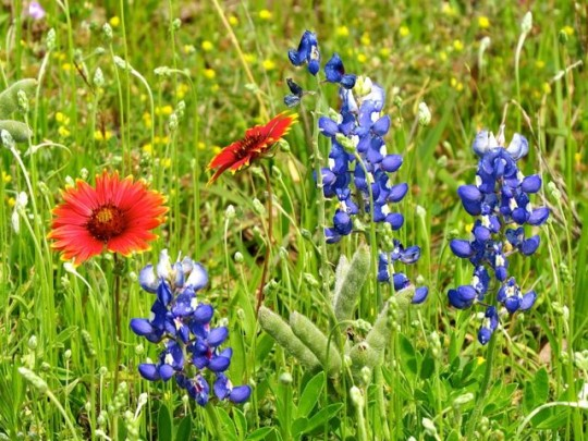 Firewheels And Bluebonnets