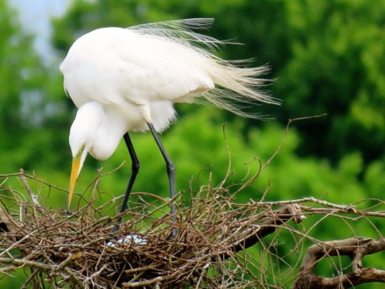 Great Egret Eggs Are A Pale Blue-Green Color