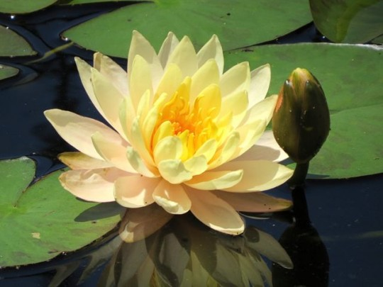 A Lovely Yellow Water Lily