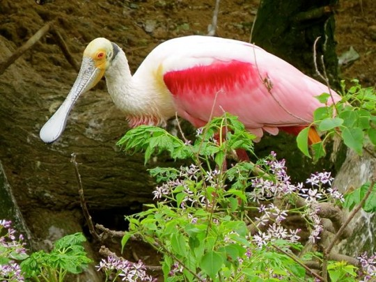 Beautiful Roseate Spoonbill