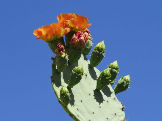 Brilliant Prickly Pear Blooms