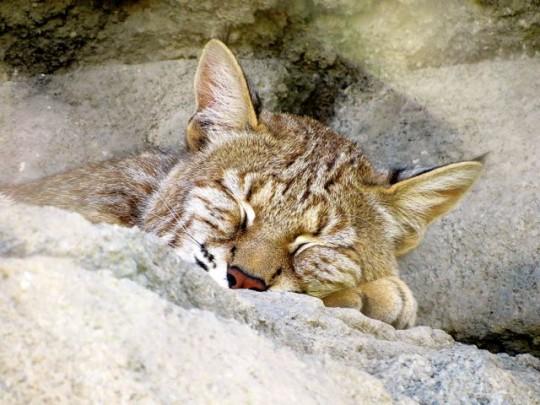 Snoozing Bobcat