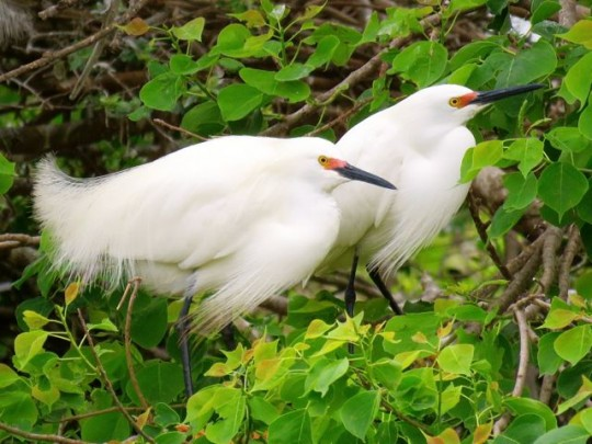 Snowy Egrets In Breeding Plumage