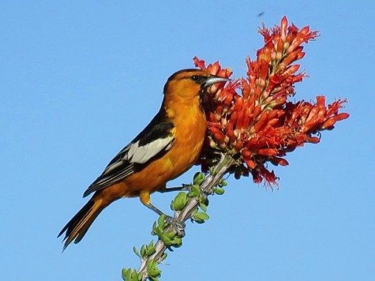 Bullock's Oriole On Ocotillo