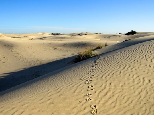Javelina Tracks Across The Dunes