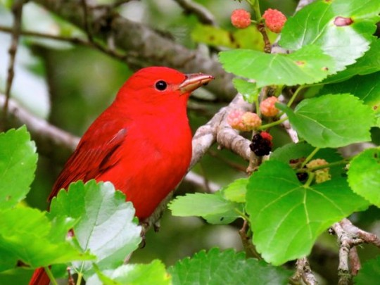 Summer Tanager Eating Mulberries