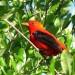 Scarlet Tanager thumbnail