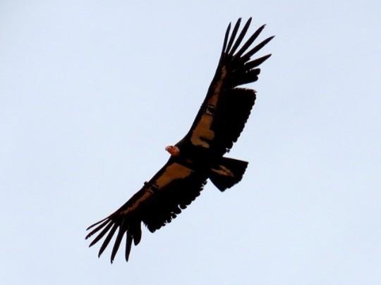 A Condor Sails Overhead