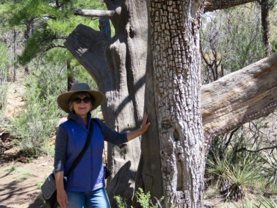 Cool Bark On The Alligator Juniper Trees