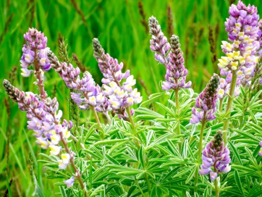 Blooming Lupine