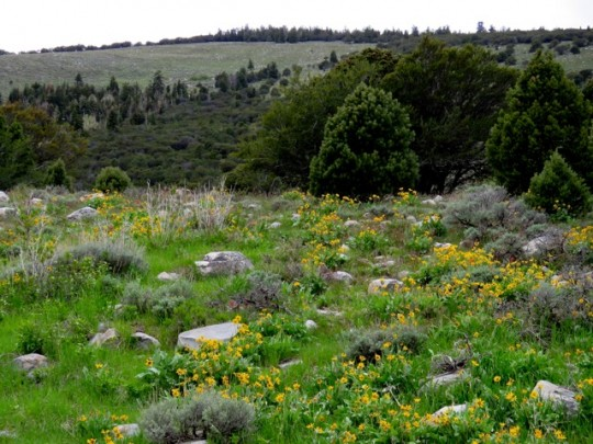 Hillsides Covered In Balsamroot