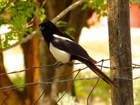 One Of Our Magpie Neighbors