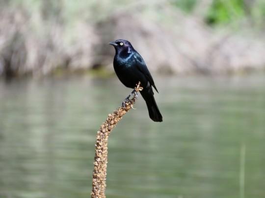 A Shiny Brewer's Blackbird