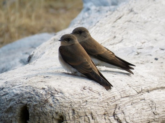 Fledgling Rough Winged Swallows On The Beach