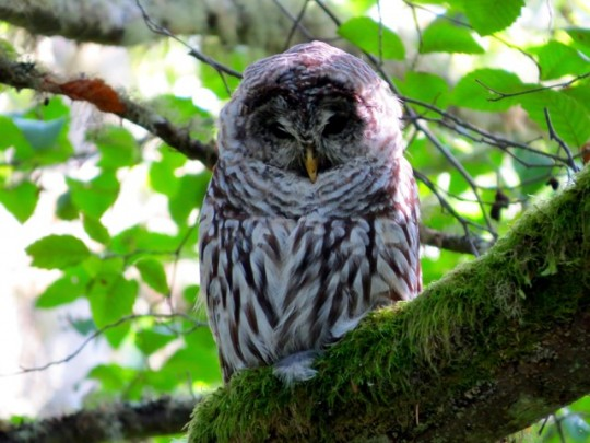 Barred Owl On The Trail