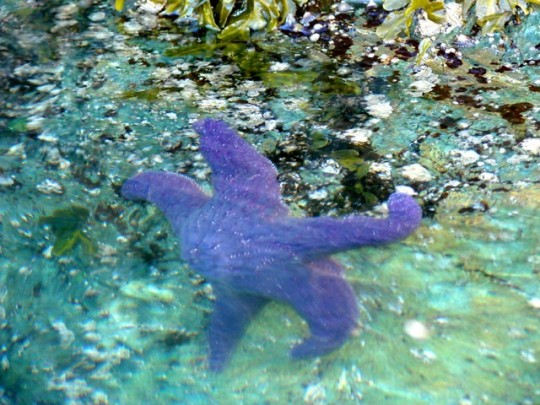 Delightful Purple Sea Stars