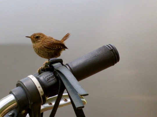 Visitor To Our Campsite (Pacific Wren)