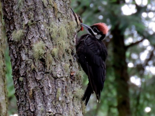 Fledgling Pileated Woodpecker