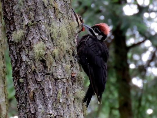 Fledgling Pileated Woodpecker