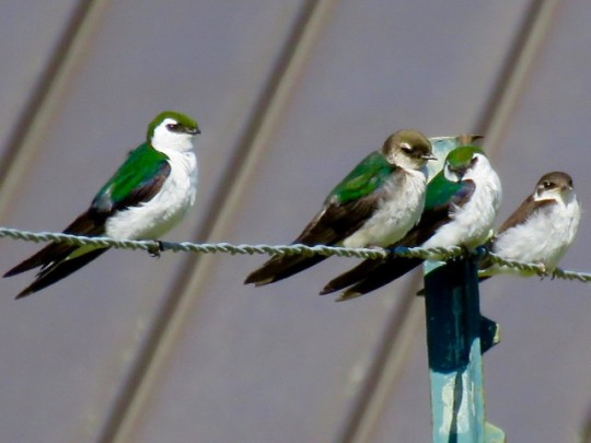 Violet Green Swallows
