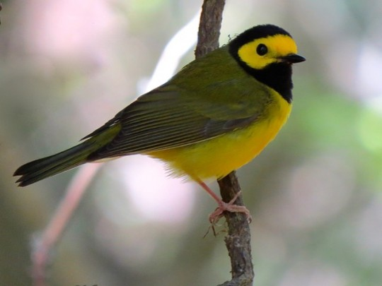 Lovely Hooded Warbler