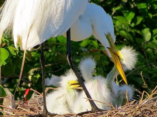 Nesting Egrets, High Island, Texas