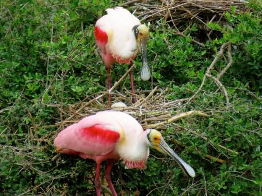 Nesting Spoonbills, High Island, Texas