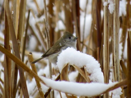 Oak Titmouse In The Cattails