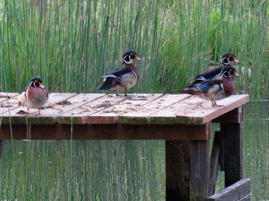 Wood Ducks At The Pond