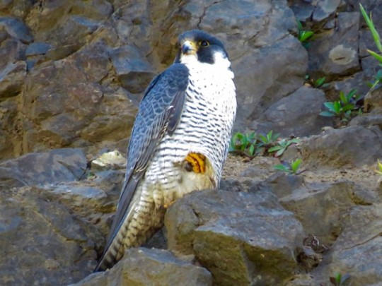 Peregrine Falcon Near The Visitor Center
