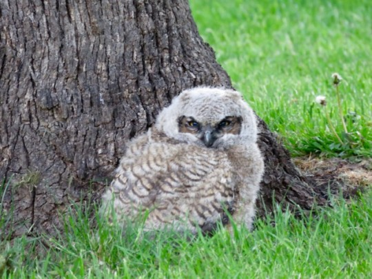 Cute And Fierce Owlet
