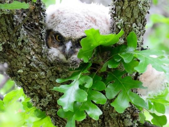Owlet At Emigrant Lake
