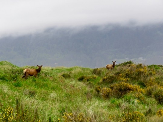 Roosevelt Elk Browsing In The Dunes